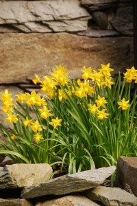 Beck Allans Daffodils in garden